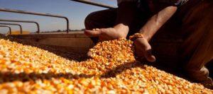 maiz-carganb