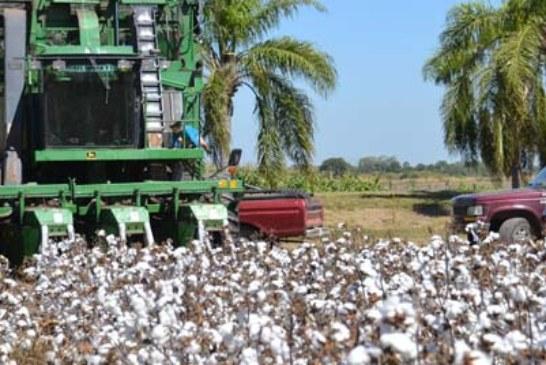 ALGODON: CITA DE HONOR EN EL INTA SAENZ PEÑA