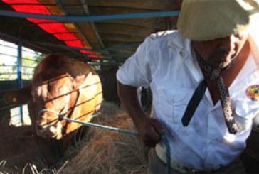 CAA CUPE: EXPORTAN LA PRIMERA CARGA DE REPRODUCTORES AL PARAGUAY