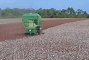 BLANCO ALGODON DE 3.200 KILOS POR HECTAREA EN AVIA TERAI