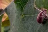 GUERRA AL PICUDO: AVANCE DEL INTA EN UNA PLANTA TRANSGENICA RESISTENTE A LA PLAGA