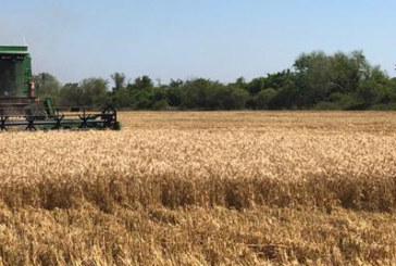 Primicia de AGROPERFILES         — EN EL PARAJE LA DIFICULTAD, CHACO, SE COSECHO EL PRIMER LOTE DE TRIGO DEL PAIS